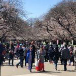 Menschenmassen zum Beginn der Kirschblüte