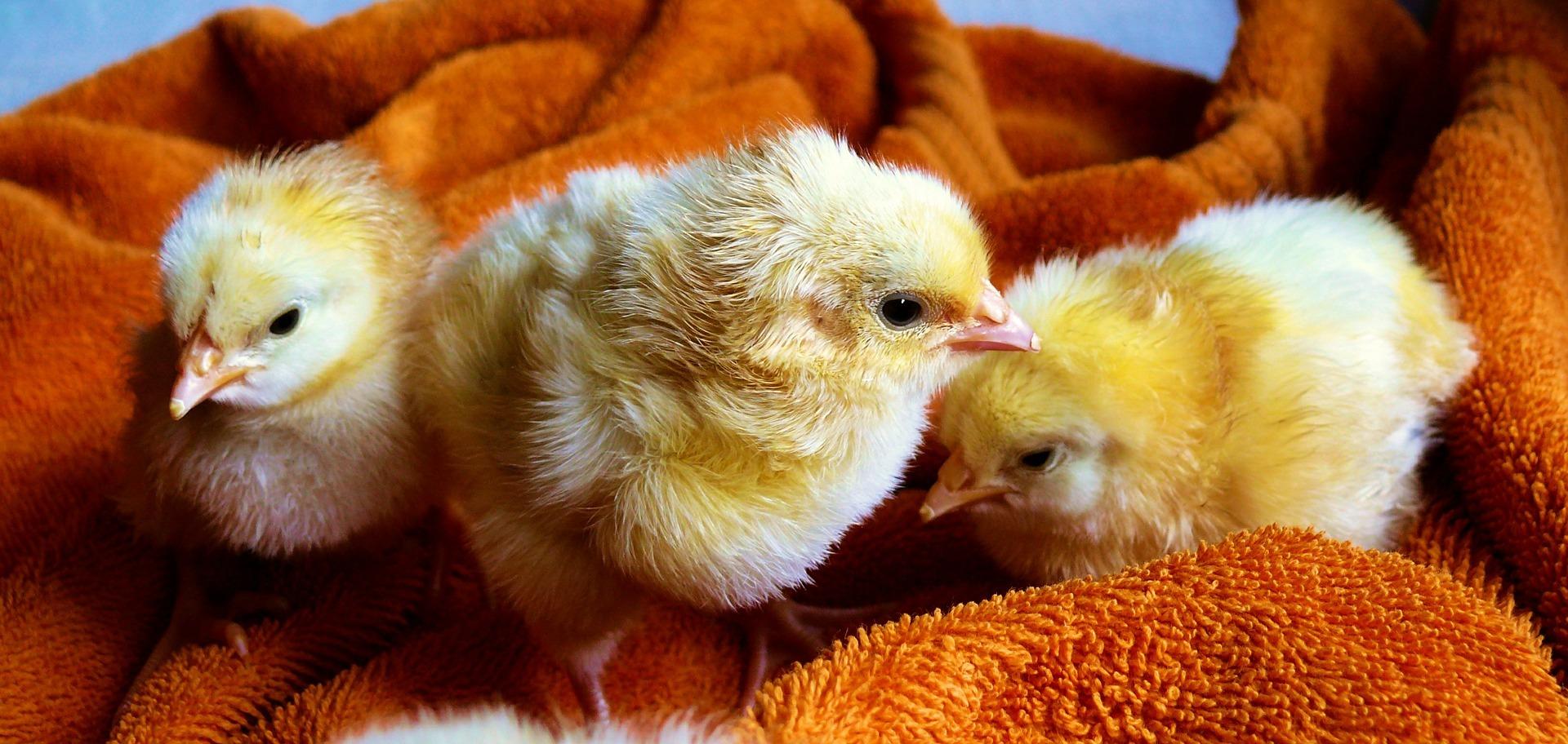 Die verrückten Hühner und die harten Kerle