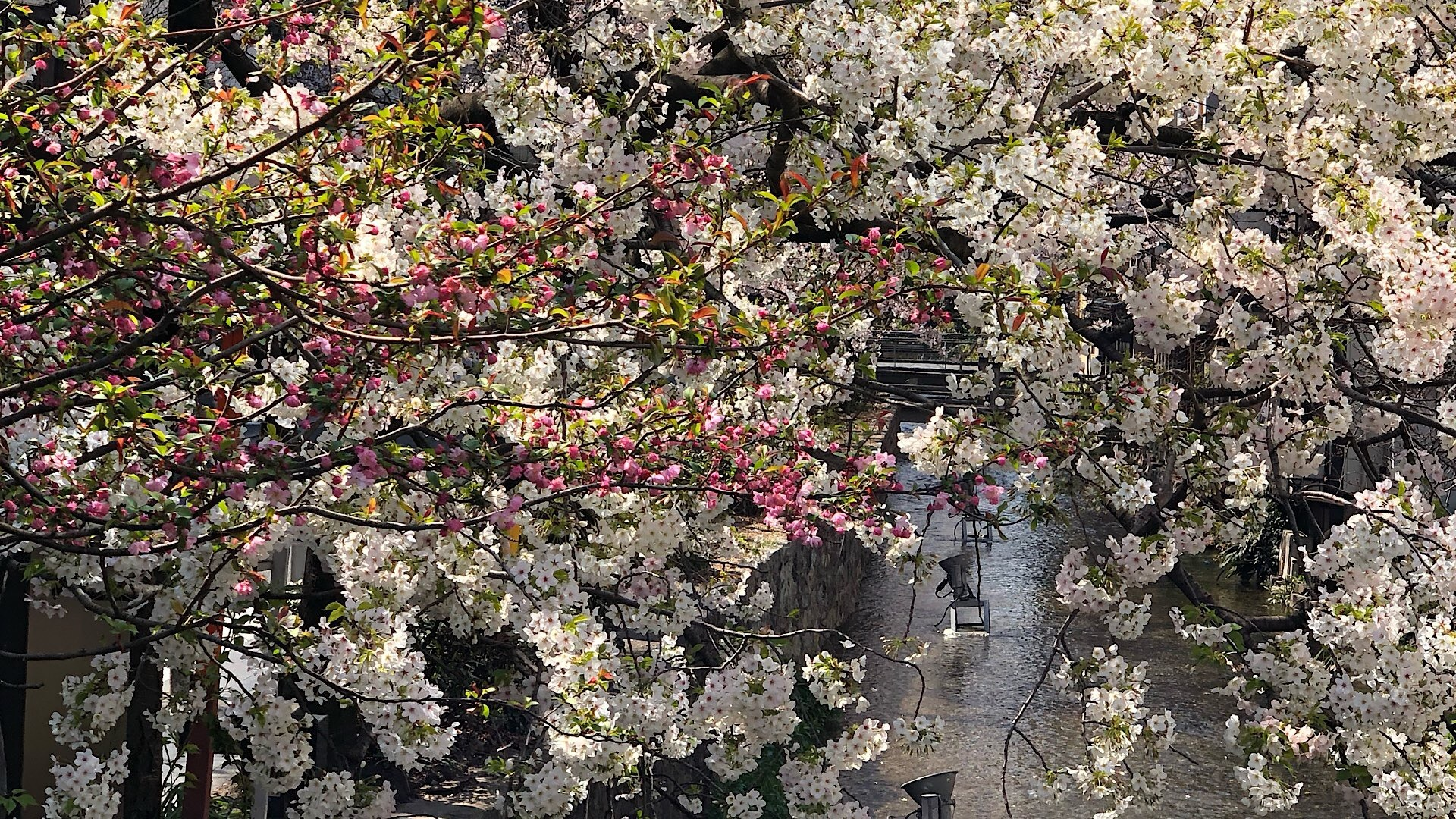 Sakura, die Kirschblüte in Japan